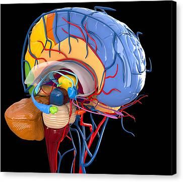 Human Brain Anatomy, Artwork Canvas Print by Roger Harris