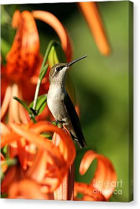 Ruby-throated Hummingbird Canvas Print by Jack R Brock