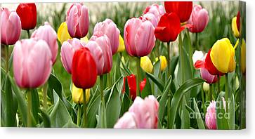 Tulip Garden University Of Pittsburgh  Canvas Print by Thomas R Fletcher