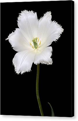 Tulip (tulipa Gesneriana) Canvas Print by Dr. Nick Kurzenko
