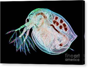 Water Flea Daphnia Magna Canvas Print by Ted Kinsman