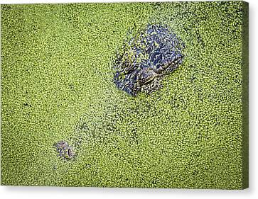 Alligator Untitled Canvas Print by Patrick M Lynch