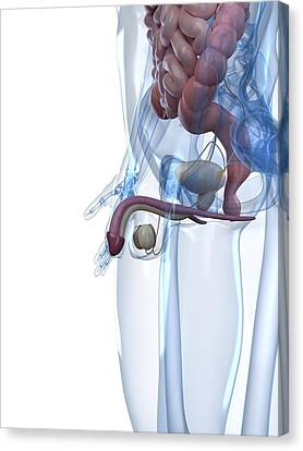 Male Reproductive System, Artwork Canvas Print by Sciepro