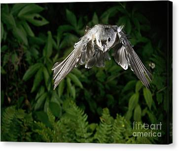 Tufted Titmouse In Flight Canvas Print by Ted Kinsman