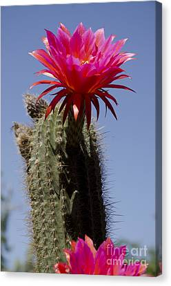 Pink Cactus Flower Canvas Print by Jim and Emily Bush