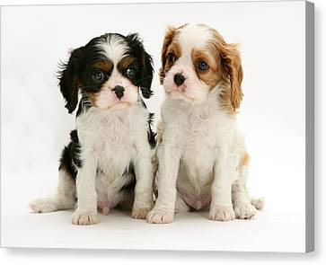 Puppies Canvas Print by Jane Burton