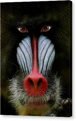 Mandrill Canvas Print - 927 by Peter Holme III