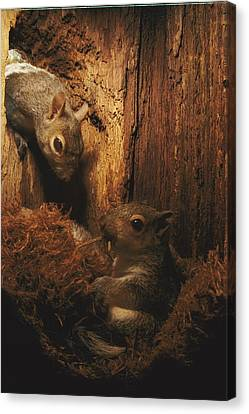 A A Baby Eastern Gray Squirrel Sciurus Canvas Print by Chris Johns