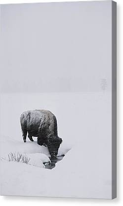 A American Bison Bison Bison Finds Canvas Print by Tom Murphy