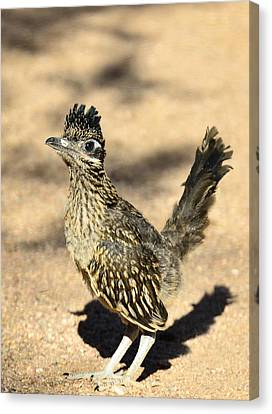 A Baby Roadrunner  Canvas Print by Saija  Lehtonen