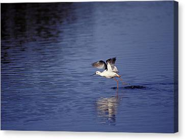 A Banded Stilt Running On Water Surface Canvas Print by Jason Edwards
