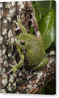 A Barking Treefrog Sits On The Crotch Canvas Print by George Grall
