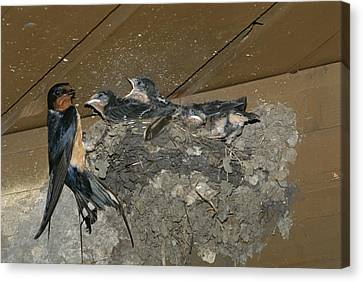 A Barn Swallow Mother Feeds Her Young Canvas Print by Norbert Rosing