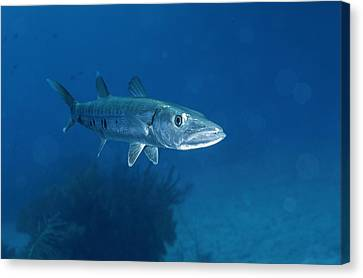 A Barracuda Fish Sphyraena Species Canvas Print by Wolcott Henry