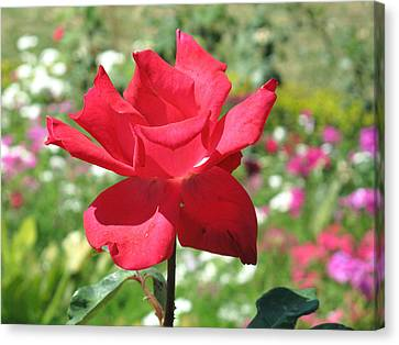 A Beautiful Red Flower Growing At Home Canvas Print by Ashish Agarwal