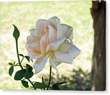 A Beautiful White And Light Pink Rose Along With A Bud Canvas Print by Ashish Agarwal