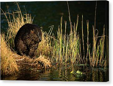 A Beaver Castor Canadensis Perches Canvas Print by Tim Laman