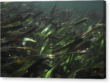 A Bed Of Sea Grass, Posidonia, Ripples Canvas Print