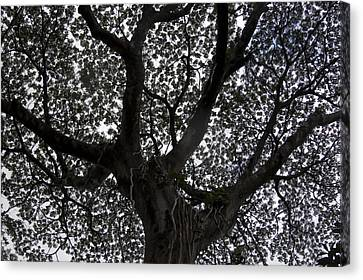 A Big Tree In The Rainforest Canvas Print by Stacy Gold