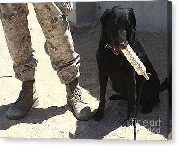 Working Dog Canvas Print - A Black Labrador Sits With A Chew Toy by Stocktrek Images
