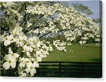 A Blossoming Dogwood Tree In Virginia Canvas Print by Annie Griffiths