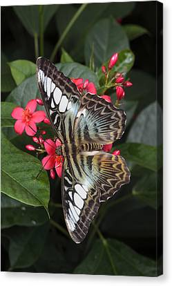 A Blue Clipper Butterfly Feeds Canvas Print by George Grall