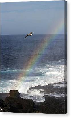 A Blue Footed Booby Soars Canvas Print by Ralph Lee Hopkins
