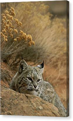 A Bobcat Canvas Print by Norbert Rosing