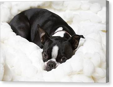 A Boston Terrier Rests On A Puffy White Canvas Print by Hannele Lahti