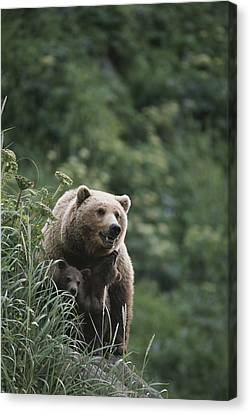 A Brown Bear Sow With Her Twin Cubs Canvas Print by Tom Murphy