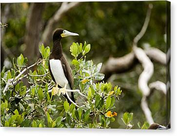 A Brown Booby Sula Leucogaster Canvas Print by Tim Laman