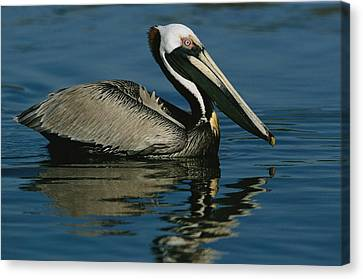 A Brown Pelican Floating Calmly Canvas Print by Tim Laman