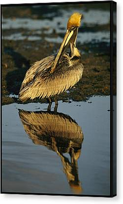 A Brown Pelican Preening Its Feathers Canvas Print by Tim Laman