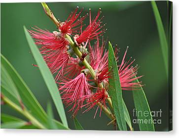 A Brush With Beauty Canvas Print by Joanne Kocwin