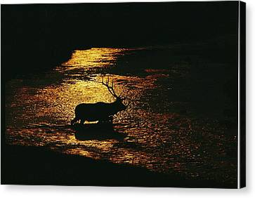 A Bull Elk Cervus Elaphus Crosses Canvas Print by Michael S. Quinton