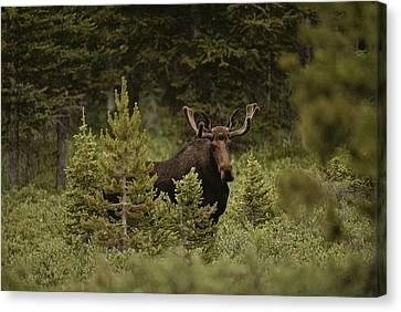 A Bull Moose Stops For A Photograph Canvas Print by Raymond Gehman