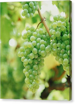 A Bunch Of Green Grapes Hanging From The Vine Canvas Print by Victoria Pearson