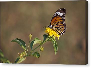 A Butterfly Feeds On Bright Yellow Canvas Print by Jason Edwards