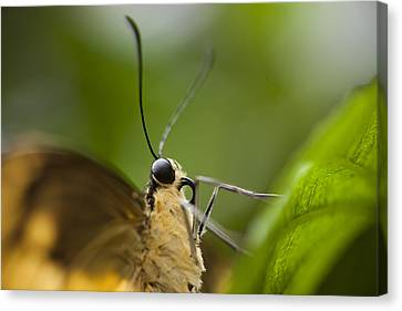 A Butterfly Perches On The Edge Canvas Print by Taylor S. Kennedy