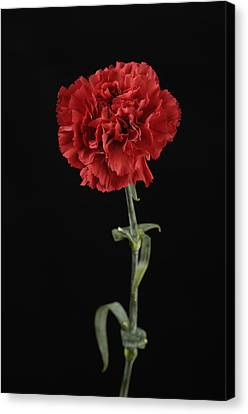 A Carnation Dianthus Caryophyllus Canvas Print by Joel Sartore
