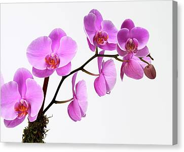 A Close-up Of An Orchid Branch Canvas Print by Nicholas Eveleigh