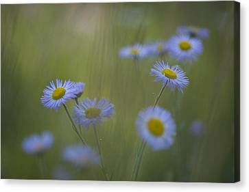 A Close Up Of Purple Aster And Daisy Canvas Print by Ralph Lee Hopkins