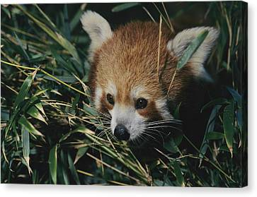 A Close View Of A Red Panda Canvas Print by Nick Caloyianis