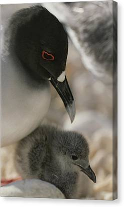A Close View Of A Swallow Tailed Gull Canvas Print by Michael Melford