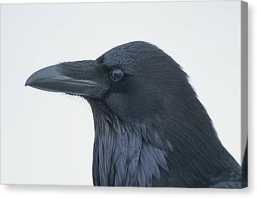 A Close View Of The Head Of A Raven Canvas Print by Tom Murphy
