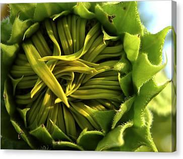 A Closeup Of A Sunflower Bud Not Yet Canvas Print