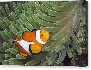 A Clown Anemonefish Amid The Stinging Canvas Print by Wolcott Henry
