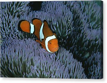 A Clown Anemonefish Of The Western Canvas Print by Wolcott Henry