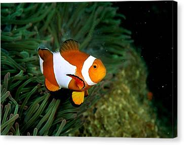 A Clown Anemonefish Swimming Canvas Print by Wolcott Henry