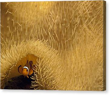 A Clown Fish Swims Under A Sea Anemone Canvas Print by Michael Melford